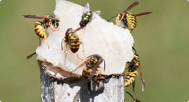 European wasps are attracted to meat protein, pet food, and fish which is routinely used as a lure.