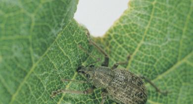 Garden weevil