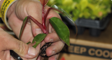 Plants may carry pests and diseases that pose a risk to WA