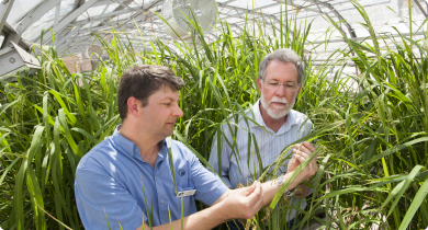 Dr Lanoiselet and Prof. Barbetti inspecting rice plants in a glasshouse
