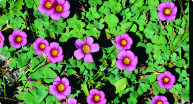 Purple flowers and green vegetation of a weed species Oxalis purpurea