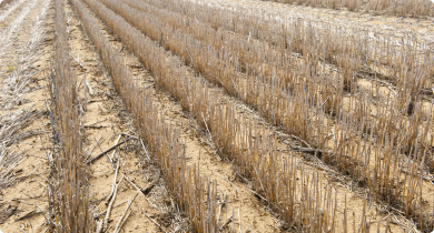 Standing cereal stubble in a paddock over summer