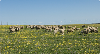 Sheep grazing on pasture
