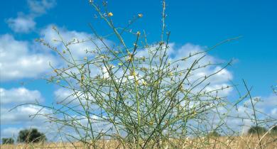 Skeleton weed (Chondrilla juncea) plant
