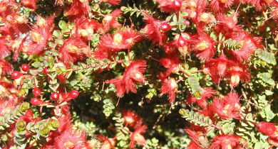 flowers of Verticordia etheliana