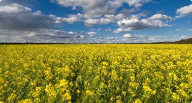 Photograph of a canola field with a stunning cloudy sky backdrop.