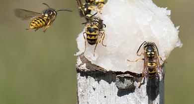 European wasps on fish