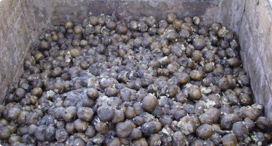 Bin of potatoes which have broken down and rotted after harvest