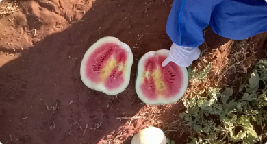 Watermelon infected with the virus, cut in half with yellow patches in flesh