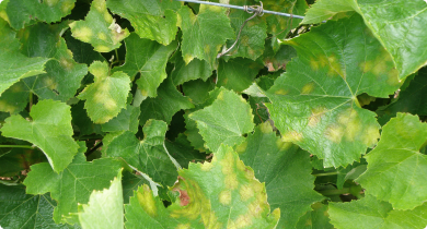 Grapevine showing multiple leaves infected with multiple downy mildew oilspots