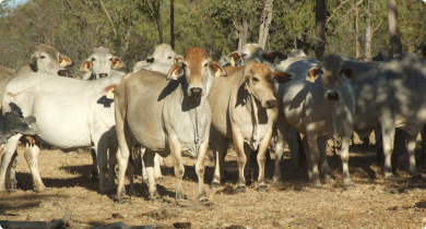 Fertility-selected Brahman herd on the Ord-Victoria plain.