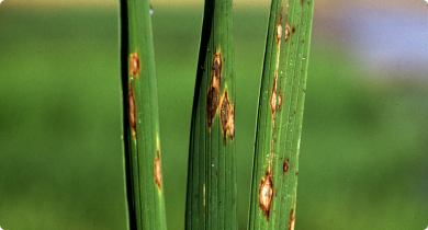 Rice blast symptoms on leaves