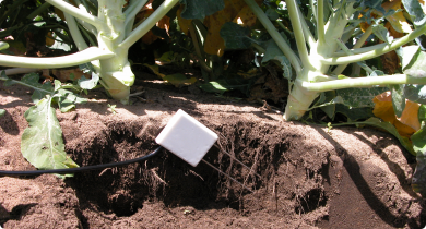 Soil moisture probe in broccoli crop