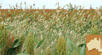 Feathertop Rhodes grass in sorghum