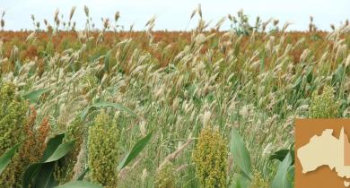 Feathertop Rhodes grass in sorghum