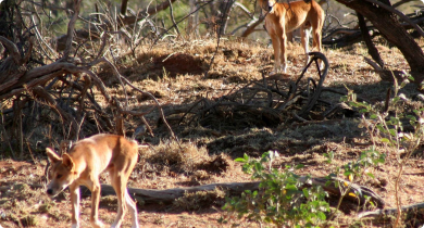 Two wild dogs in the bush