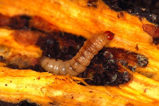 Dock moth larva inside dock root