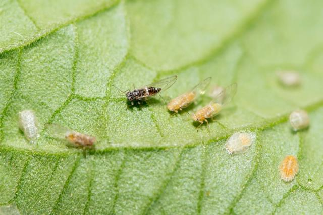 Tomato potato psyllid adults and nymphs on a tomato leaf