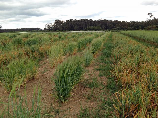 Screening wheat lines for resistance/tolerance to BYDV infection