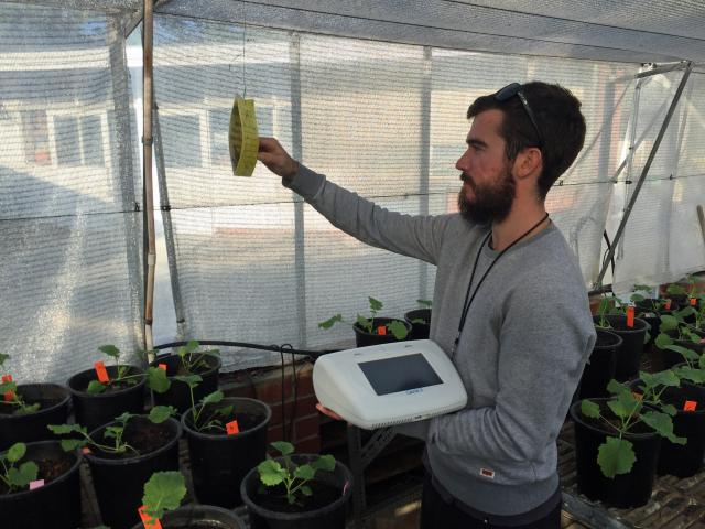 DAFWA Research Officer Ben Congdon, assessing virus spread by aphids using LAMP