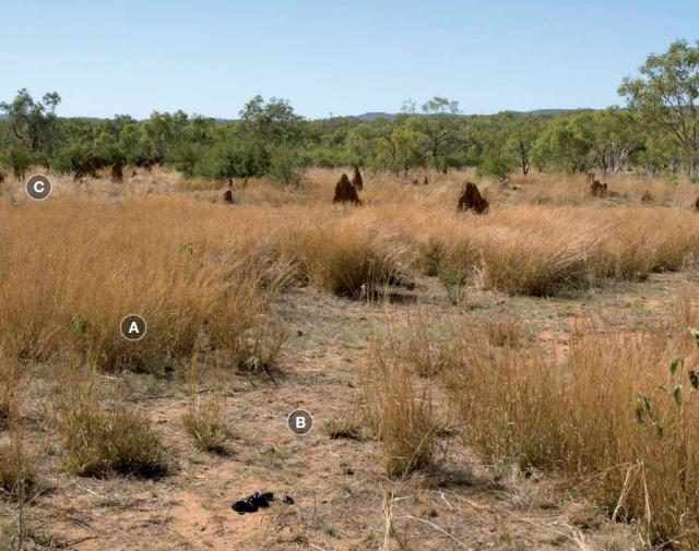 Photograph of black speargrass pasture in fair condition in the Kimberley