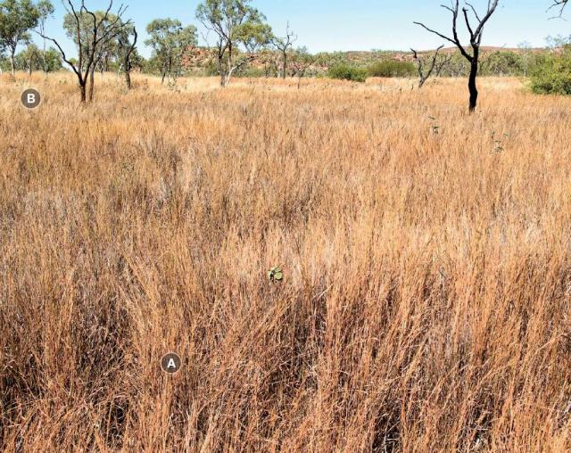 Photograph of black speargrass pasture in good condition in the Kimberley