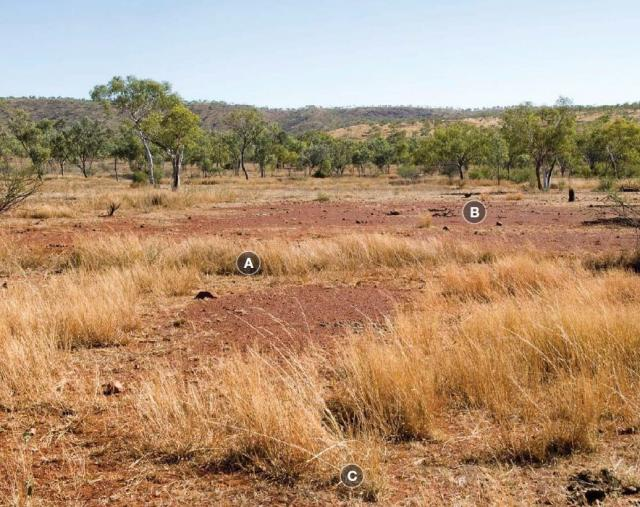 Photograph of black speargrass pasture in poor condition in the Kimberley