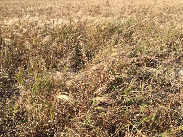 Great brome grass