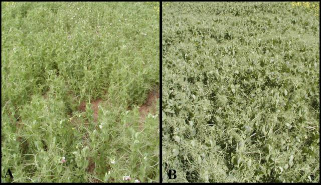 Photo - comparing a pea plot with high PSbMV infection levels (left) with one with negligible infection levels (right)