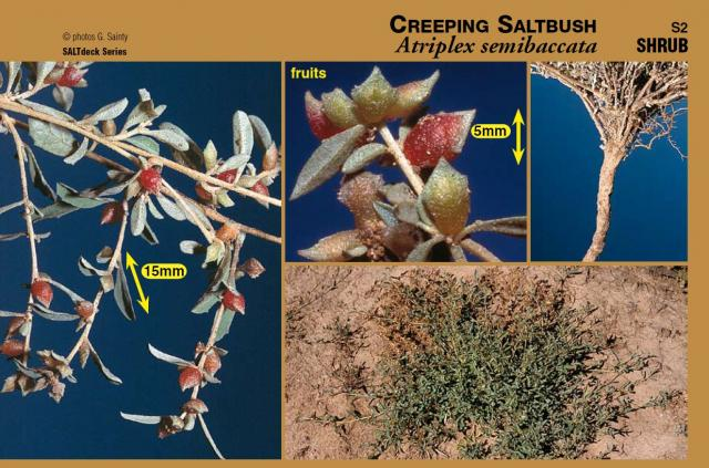 Photographs of creeping saltbush plant and components from SALTdeck