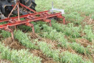 Cultivating the inter-row of lupins