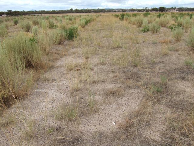 Alley system of saltbush planting with 10m alleys between sets of 4 rows of saltbush.