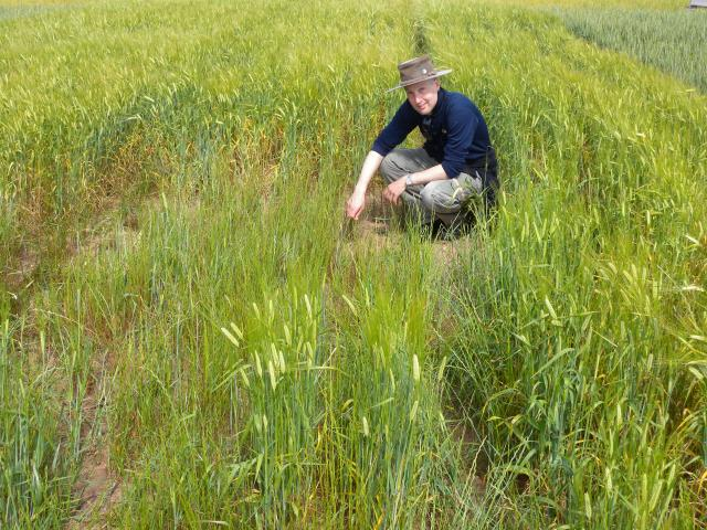Research officer Dr Daniel Hüberli (DPIRD) in a rhizoctonia bare patch in barley (© DPIRD).