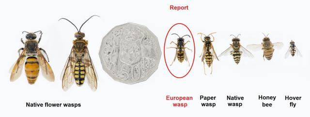 Wasp identification image