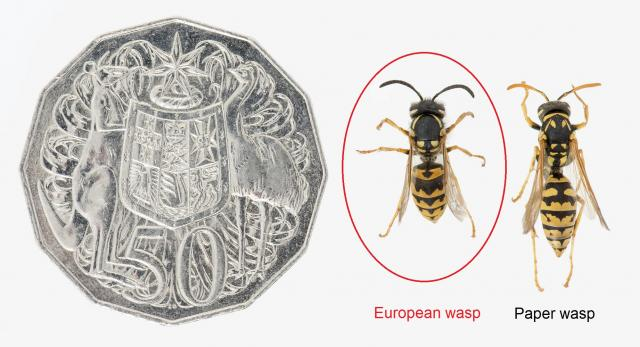 European wasp and paper wasp comparison