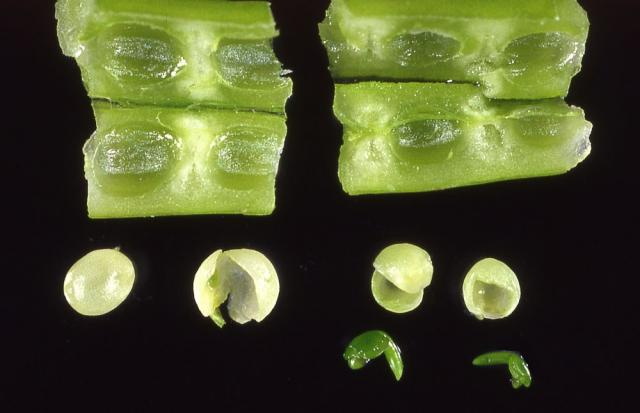 Development of wild radish seed: pre-embryo stage (left), post-embryo stage (right).