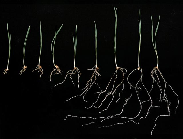 Wheat seedlings grown in soil with a range of aluminium concentrations demonstrate restricted root growth at high aluminium concentrations