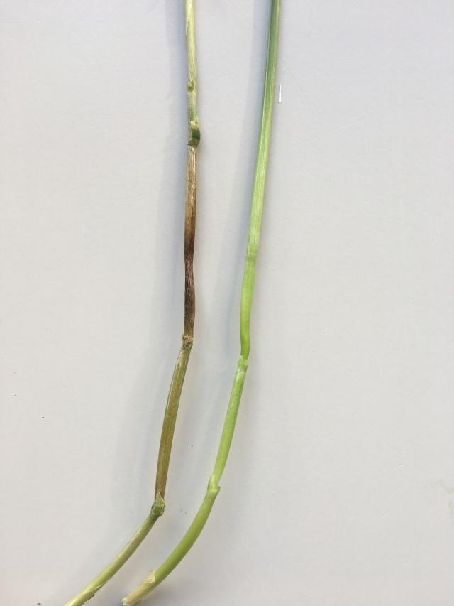 Figure 9. Brown discolouring on the stem below the head and above the node (peduncle).