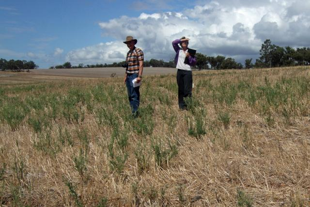 John Moore and Sally Peltzer, both from DPIRD, standing in fleabane after harvest at Frankland.