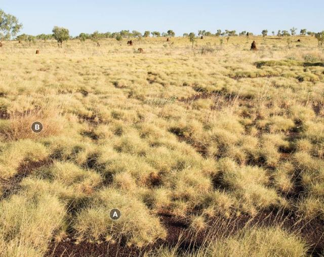 Photograph of hard spinifex plain pasture in good condition