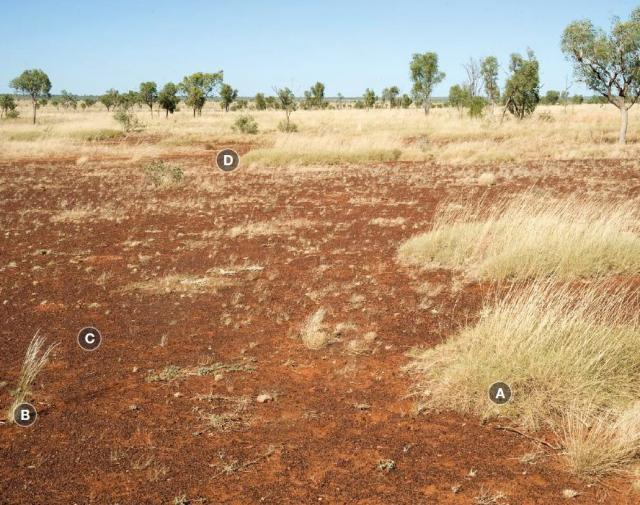 Photograph of hard spinifex plain pasture in poor condition