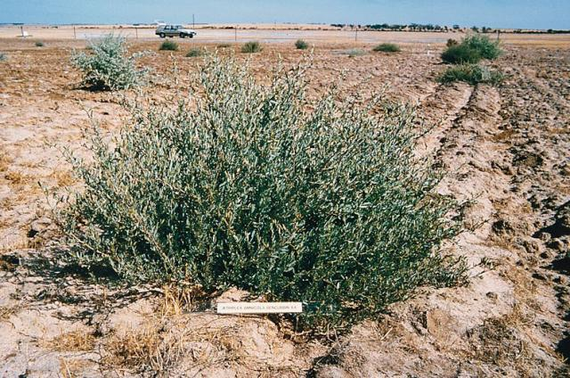 Photograph of 8 month old river saltbush plant with no grazing