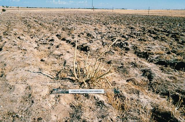 Photograph of 8 month old river saltbush plant with simulated grazing