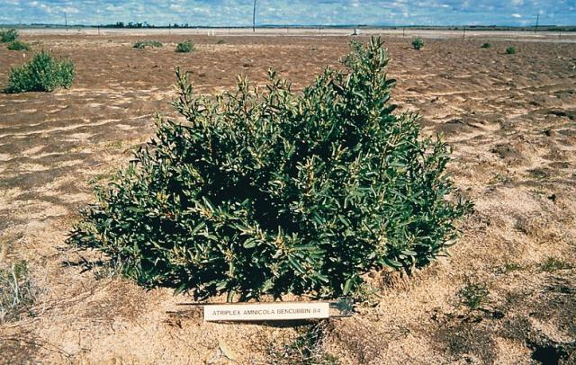 Photograph of 11 month old river saltbush plant 3 months after grazing