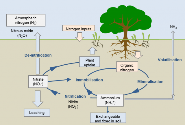 effect of plant spacing and nitrogen However, leaf number of lettuce head, was significantly affected by the interactive effect of nitrogen form x plant spacing and nitrogen form x irrigation regime in both locations (tables 3 and 4.