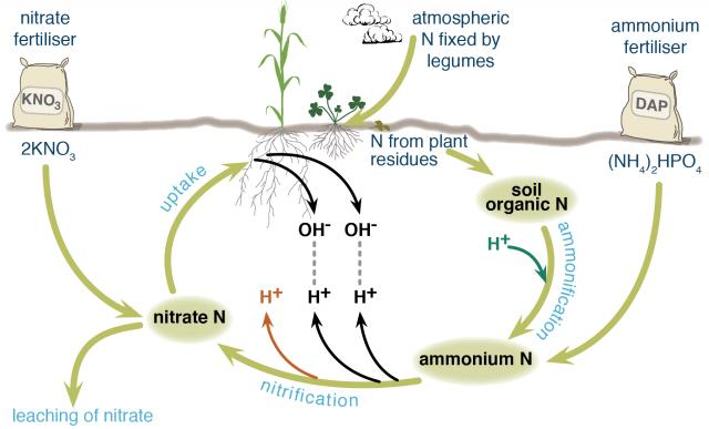 Nitrogen cycle showing the impacts of different Nitrogen fertilisers on soil acidification