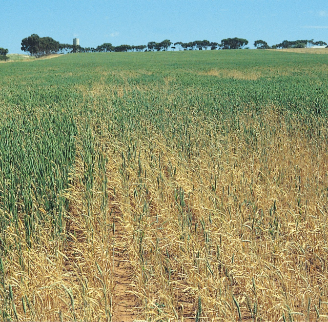 Figure 5. Take-all patches with irregular edges or white tillers and heads containig shrivelled or no grain (© 1996 Grains Research and Development Corporation)