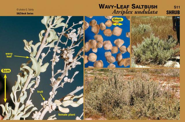 Photographs of wavy-leaf saltbush plant and components from SALTdeck