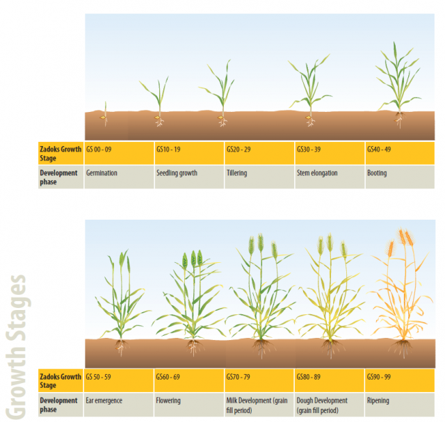 Zadoks cereal growth stages, which range from 0-99.