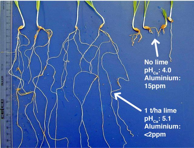 Barley seedlings grown in limed (left) and unlimed (right) acidic subsurface soil; there are no symptoms of aluminium toxicity in the limed treatment.